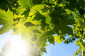 Free Green Leafe  Of Maple In Sunny Day. Royalty Free Stock Images - 16766249