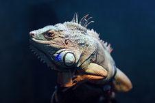Free Iguana Royalty Free Stock Images - 16760239