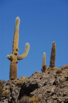 Trichoreus Cacti Stock Photography
