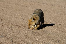 Free Fox In Dali S Desert Royalty Free Stock Images - 16760619