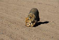 Free Fox In Dali S Desert Royalty Free Stock Images - 16760619