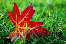 Free Atutmn Color Of A Maple Leaf Royalty Free Stock Photos - 16760908
