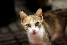 Feral Kitten Tongue Royalty Free Stock Photo