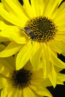 Macro Shot Of Bee On Flower Royalty Free Stock Images
