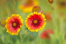 Free Yellow And Red Flower Stock Images - 16763324