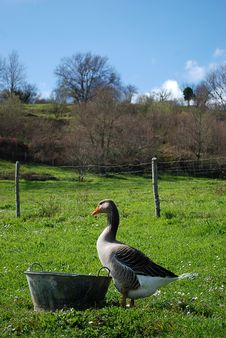 Free Goose In A Farm Royalty Free Stock Photo - 16763815