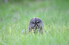 Free Great Grey Owl Portrait Stock Photo - 16764170