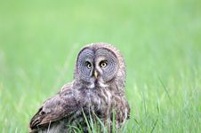 Free Great Grey Owl Portrait Royalty Free Stock Images - 16764189