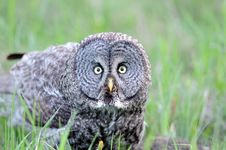 Free Portrait Of Great Grey Owl Royalty Free Stock Images - 16764219