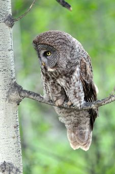 Free Great Grey Owl Perched Royalty Free Stock Photography - 16764307