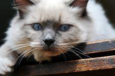 Free Blue Eyes Ragdoll Cat On Wood Royalty Free Stock Photos - 16764828