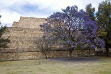 Free Flowering Tree, Mexico Stock Images - 16764854