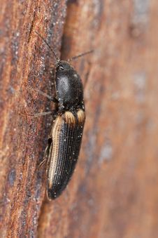 Free Click Beetle On Wood Royalty Free Stock Images - 16764929