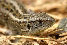 Free Lizard Stock Image - 16765091