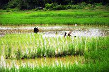 Free Rice Plantation Stock Image - 16765721