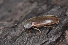 Free Brown Beetle Royalty Free Stock Images - 16766009