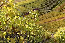 Vineyard - The Autumn Season Royalty Free Stock Image