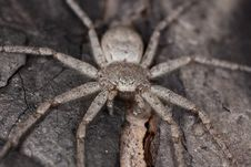 Free Hunting Spider Camouflaged On Wood Royalty Free Stock Photo - 16766295