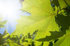 Free Green Leafe  Of Maple In Sunny Day. Royalty Free Stock Photos - 16766318