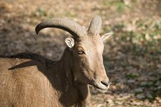 Free The Barbary Sheep Royalty Free Stock Image - 16766466