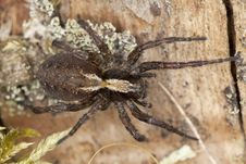 Free Wolf Spider On Ground Royalty Free Stock Photos - 16766518