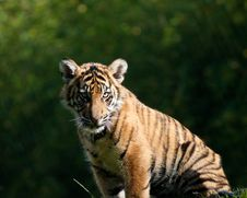 Free Tiger Cub Stock Photography - 16766582