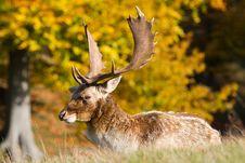 Free Male Fallow Deer Stock Photo - 16767140