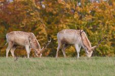 Free Male Fallow Deer Royalty Free Stock Images - 16767289