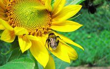 Free Bug On Sunflower Royalty Free Stock Photo - 16767735
