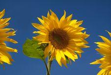 Free Three Sunflowers Stock Image - 16768911