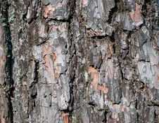 Free Bark Of Pine Tree Stock Photos - 16768913