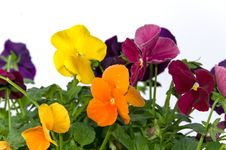 Free Bundle Of Pansies On Isolating Background Stock Photos - 16771163