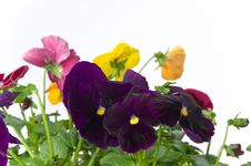 Free Bundle Of Pansies On Isolating Background Stock Image - 16771181