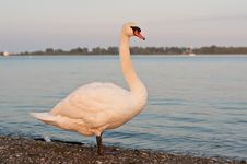 Free Mute Swan On A Beach In The Evening Stock Image - 16771981
