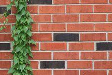 Vine Climbing Brick Wall Stock Image