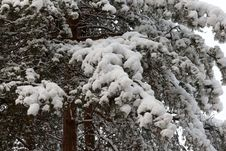 Free Branches Of The Pine In Snow Stock Photos - 16772623