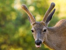 Free Blacktail Stag Sticking Out Its Tongue Royalty Free Stock Images - 16772709