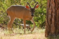 Free Backlit Mule Deer Royalty Free Stock Photo - 16772715