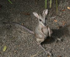 Free Wallaby Joey Royalty Free Stock Images - 16773079