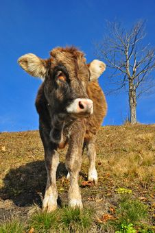 The Calf On A Hillside Stock Images