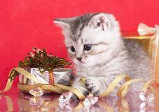 Free British Kitten Royalty Free Stock Images - 16776209