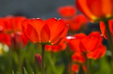 Free Closeup Of Red Tulips Stock Photos - 16776233