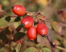 Free Wild Rose Hips Stock Photography - 16779102