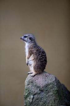 Free Watchful Meerkat Standing Guard Stock Image - 16779521