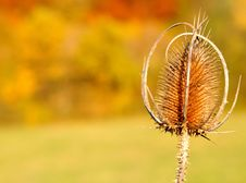 Free Thistle Stock Photo - 16779570