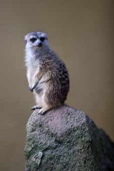 Free Watchful Meerkat Standing Guard Stock Image - 16779591