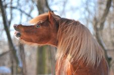 Free Welsh Pony Stock Photo - 16779670
