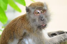 Closeup Of A Monkey Royalty Free Stock Images