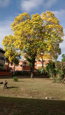 Free TYPICAL TREE OF VENEZUELA ARAGUANEY WITH YELLOW FLOWERS INSIDE URBANIZATION OR FLOORED URBAN AREA PLANT Royalty Free Stock Photos - 167793938