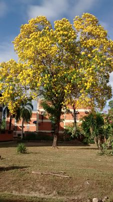 Free TYPICAL TREE OF VENEZUELA ARAGUANEY WITH YELLOW FLOWERS INSIDE URBANIZATION OR FLOORED URBAN AREA PLANT Stock Photos - 167794143